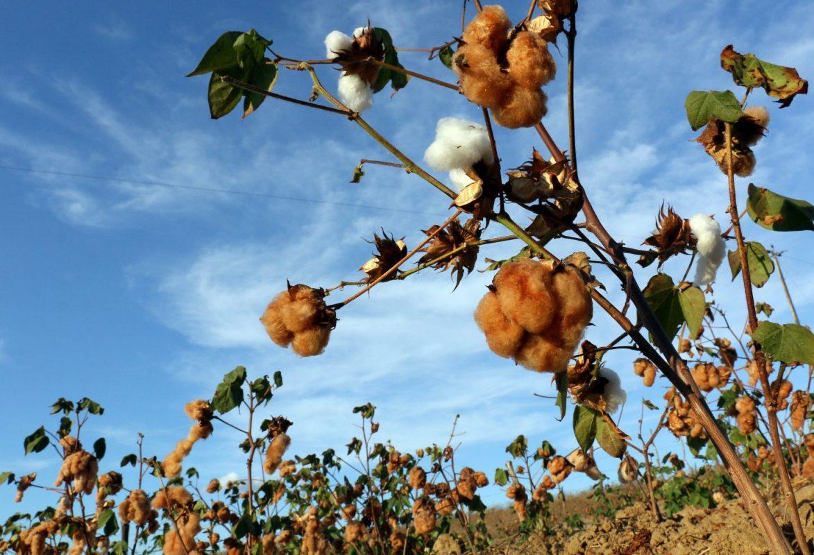 panos de algodão orgânicos