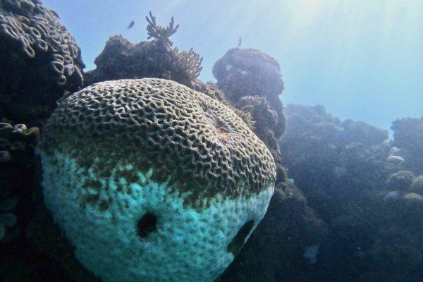 A alta temperatura dos oceanos prejudica principalmente os corais.