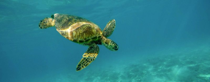 Beautiful closeup shot of a large turtle swimming underwater in the ocean